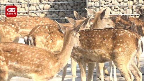 """新中式风格鹿园亮相 近距离接触""""热情好客""""的鹿家族"""