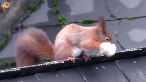 小松鼠要搬家了,把窝里的棉花都叼在嘴里,样子又萌又可爱