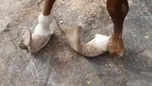 可怜马儿被主人关5年无人问津,不料马蹄已严重变形,让人心疼!