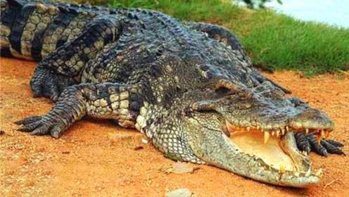 为何鳄鱼会流眼泪,难道是伤心吗?看完算是长见识了!