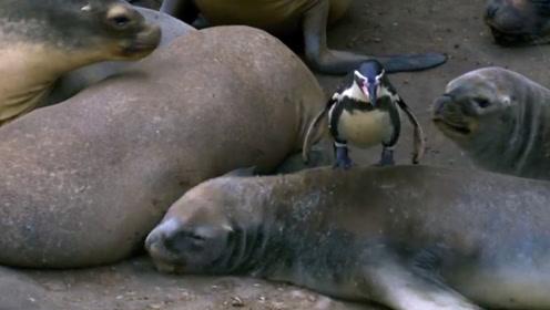 海豹群无精打采,企鹅在里面随意穿梭,胆大的还跳到了海豹的身上
