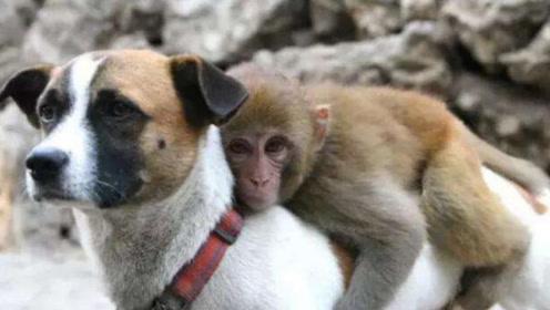 小猴子把狗狗当妈妈,整天待在一起,画面十分暖心!