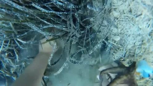 实拍潜水员海底捕捉八爪鱼,平均1分钟一只,看着真过瘾