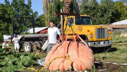 """农民种出""""巨型南瓜"""",一颗重1782斤,派来起重机运送!"""