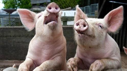 美国为什么能成为养猪第一大国?看到猪粪后,终于明白了!