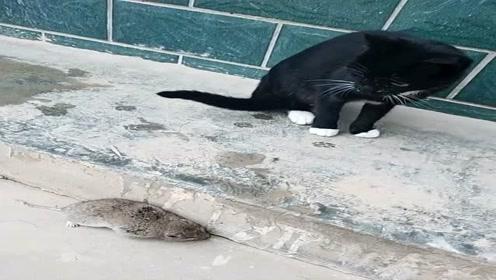 黑猫抓了只大老鼠,不料这老鼠跑都懒得跑,看到眼神我懂了!