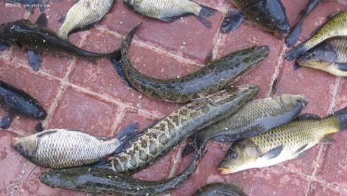 长江火头鱼在美国泛滥,个头长达1米,鸟类都成了它的食物!