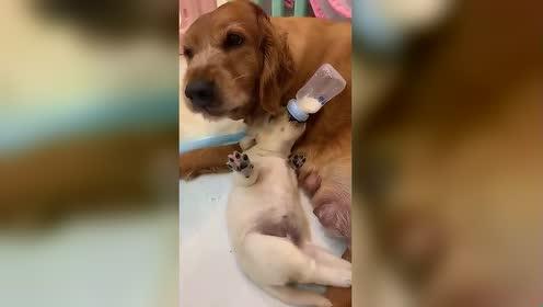 狗狗喝奶奶!好可爱!