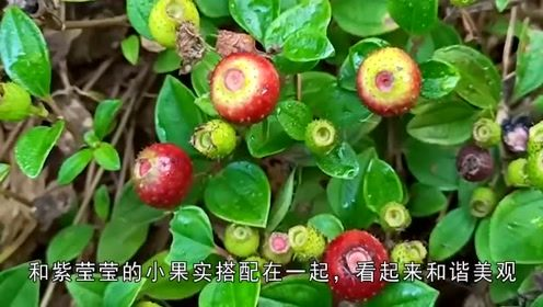 指头大的袖珍茄子你见过吗?它是药用植物,还能做成美食