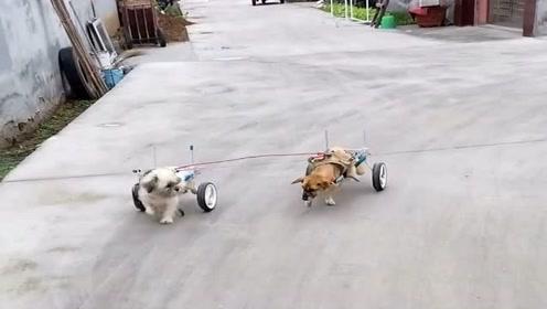 农村人真善良,收养了两只出车祸后的狗子,还为它们做了轮滑,太有爱心了!