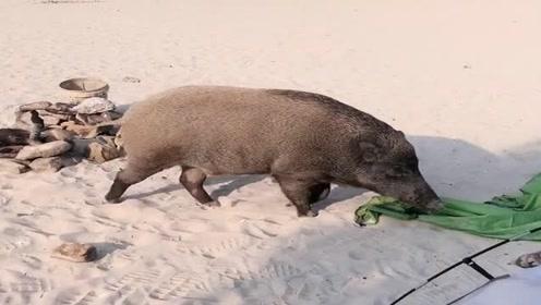 山里露宿遇到了一头大野猪,把我的帐篷都给撕烂了,吓得我都不敢出来!