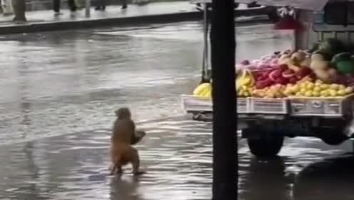 这猴子真胆大!大马路上看见香蕉!拿了就跑