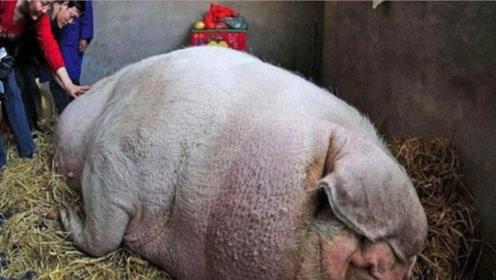 农民低价买了一头猪,把猪养大了后,却发现有些不对劲!