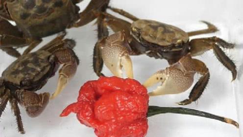 """""""死神辣椒""""到底有多辣?老外用螃蟹实验,下场一目了然!"""