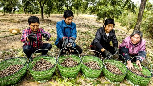安徽农民种植美国山核桃,千亩荒地变成聚宝盆,农民增收40万