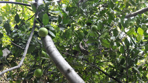 西安市民将吃剩柚子籽种下 10多年后青色柚子满枝头