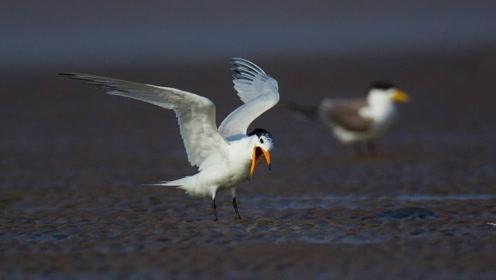 """37只""""神话之鸟""""出现青岛,全球数量不会超过100只,一定要好好保护"""