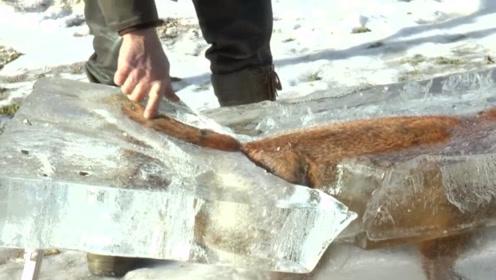 男子去钓鱼,发现被冻成冰块的狐狸,仔细观察感觉不对劲