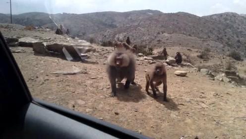 小伙开车回家遇上猴群堵路,好说歹说不放行,要放大招了