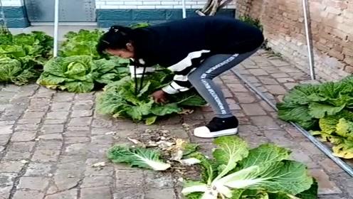 农村小媳妇真会过日子,砖缝里也能种出大白菜,又学了一招!