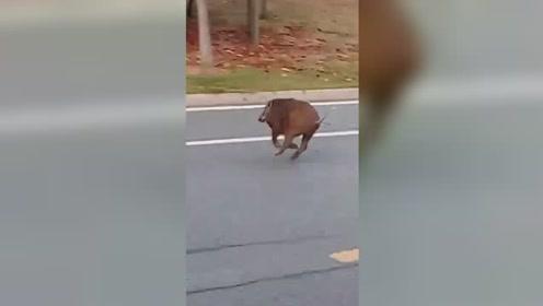 滁州琅琊山附近现野猪身影 飞奔横穿马路引众人围观拍摄