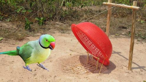 男子野外捕抓鹦鹉,看到他设陷阱的手法,网友:太神奇了!