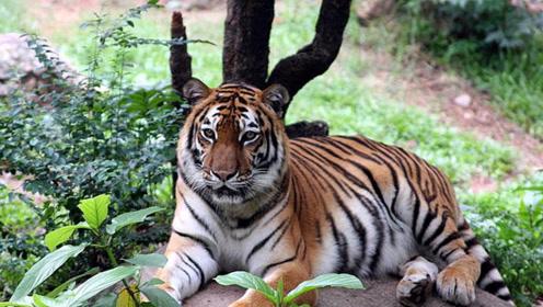 真实记录母老虎大战鬣狗,在丛林之王面前,鬣狗简直不堪一击