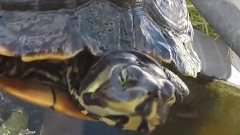 30年老龟意外死亡,打开肚子找到真相,原来藏了这么多宝贝