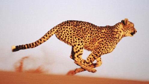 """为猎豹和赛车设置跑道,了解下什么叫""""速度"""",不禁让人两手称赞"""
