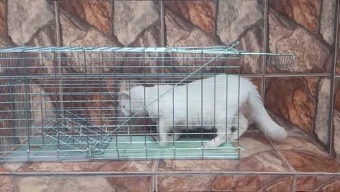 测试捕鼠笼,让家里的猫咪试了下,这简直是神器啊