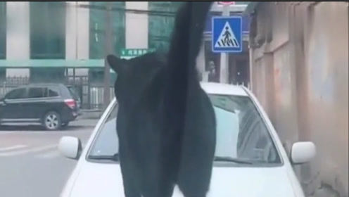 """猫咪因豪车不礼让,""""霸气""""坐车前,民警来了也没用?"""