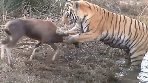 看看老虎有多厉害,双爪一按再咬一口就撂倒,整个过程干净利落