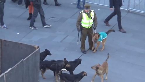 警犬被一群流浪狗包围,全程很淡定,网友:打赢了坐牢打输了住院