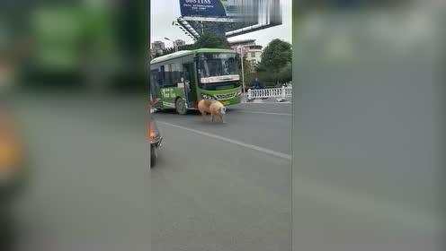 这是谁家的猪丢了,上班路上偶遇这一幕,原谅我笑喷了!