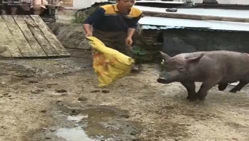 这头猪厉害了,想让它束手就擒,有难度啊!
