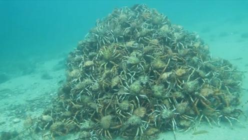 残忍:章鱼误入杀人蟹迁徙团,数百公里惨遭围攻撕扯,瞬间粉碎被吞下肚