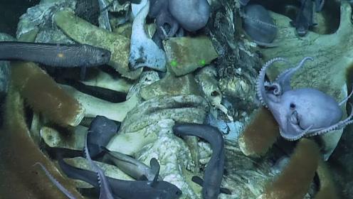 食物链倒置,章鱼群在死去鲸尸骸上举行盛宴,场面壮观