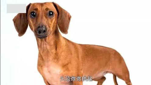 宠物百科:腊肠狗产地是哪里?