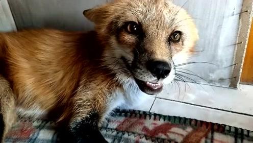 萌宠 起床气,摸它就咬人,但只要你坚持,就算是狐狸也拿你没办法!
