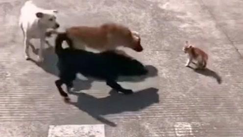 农村偶遇奇葩事,三只狗狗大战一只猫咪,这也太欺负猫了!