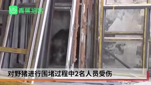 150斤野猪误闯厂房大闹致2人受伤 被敲晕抬走