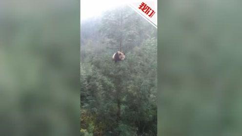 """四川村民家门口现野生大熊猫 树上淡定""""摆拍""""2个半小时"""