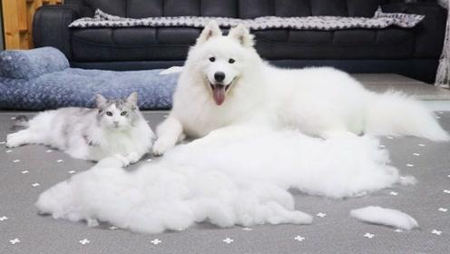 主人给趴在地上的萨摩耶梳毛,狗狗的表情看着也太逗了!