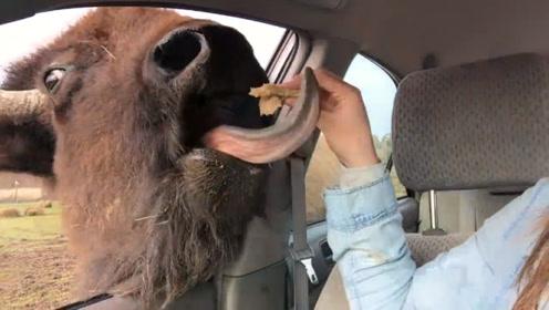 野牛找游客讨要食物,女子毫无防备的拿出面包,镜头拍下意外一幕