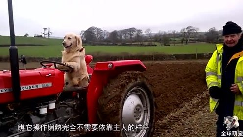 一只会开拖拉机的金毛,每天帮着主人耕地收割,网友:简直成精了