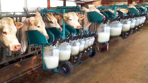 大型牧场实拍,在这里奶牛是如何挤奶和喂养的?真是涨知识了