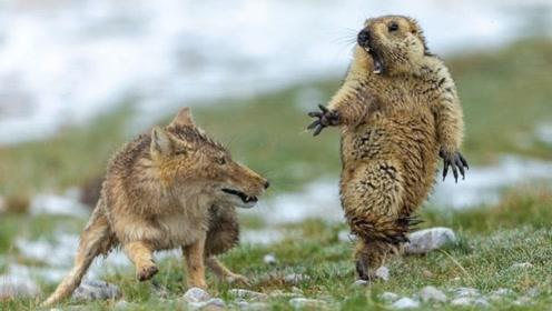 """旱獭和藏狐的""""生死对决"""":不仅仅是表情包"""