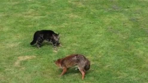 狐狸和猫咪狭路相逢,还没动手猫咪撒腿就跑,太丢猫脸了