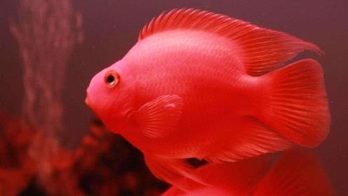 动物百科:鹦鹉鱼吃什么?