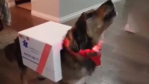 """加拿大一宠物狗万圣节扮""""救护车""""走红社交网络"""
